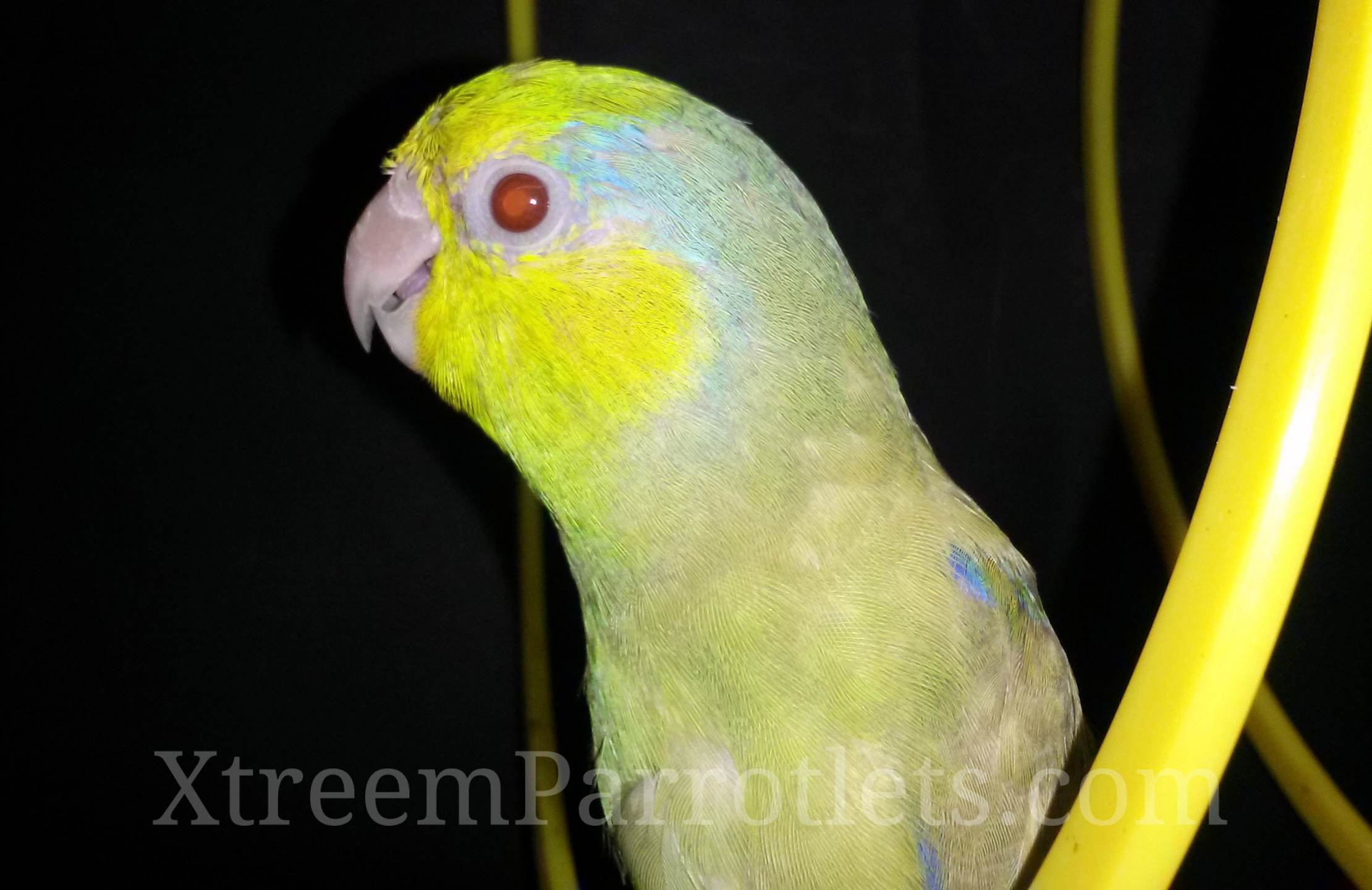 Green-Fallow-Parrotlet