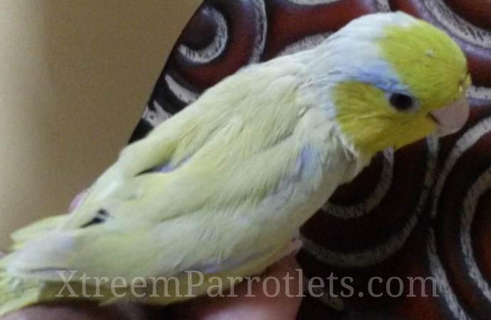 Rainer-Ehrhardt-american-yellow-parrotlet