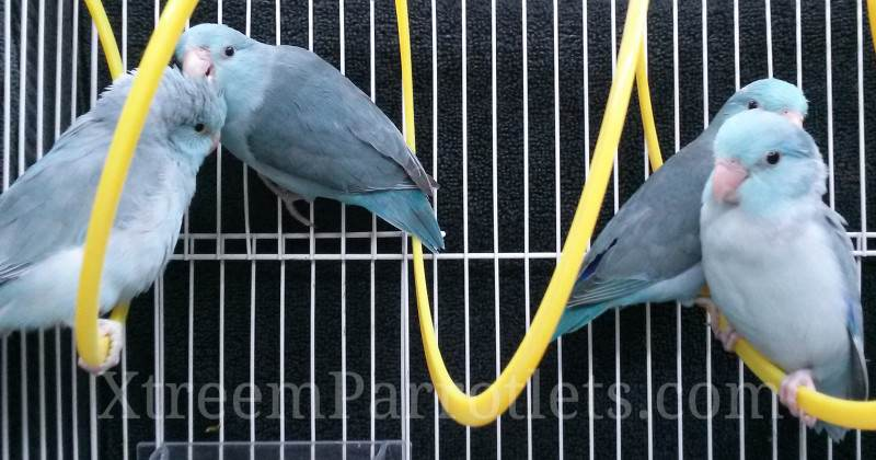 beautiful-group-blue-parrotlets