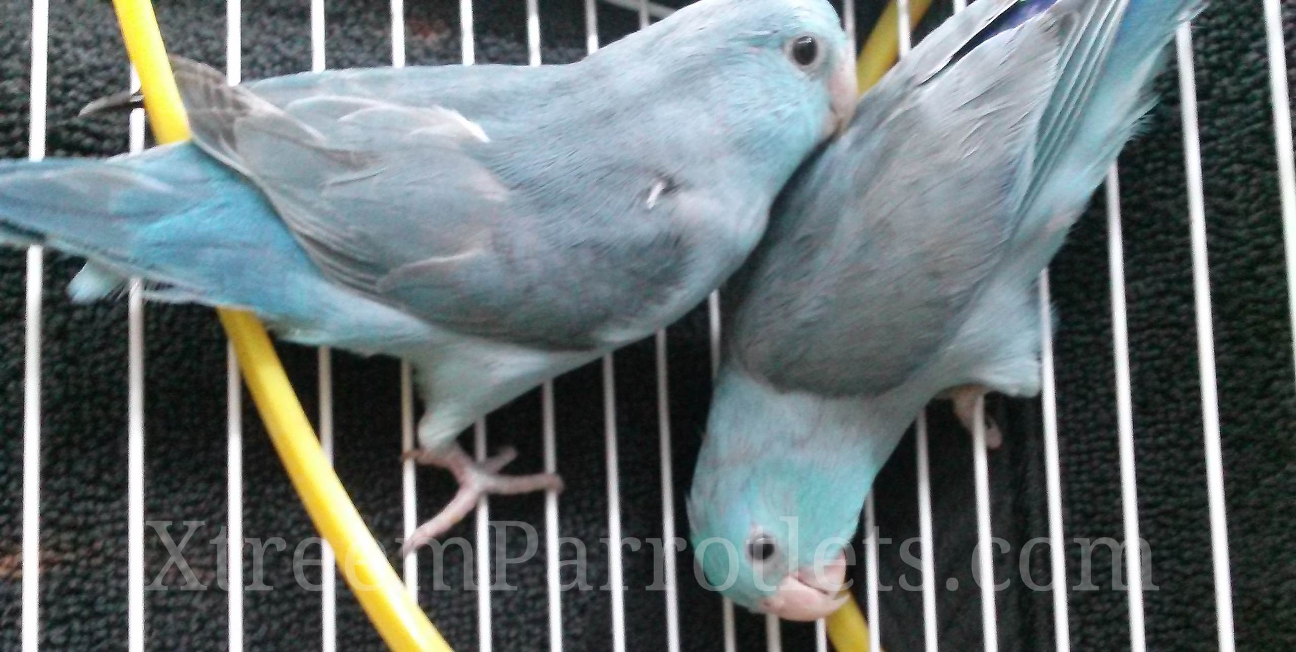 blue-parrotlets-for-sale