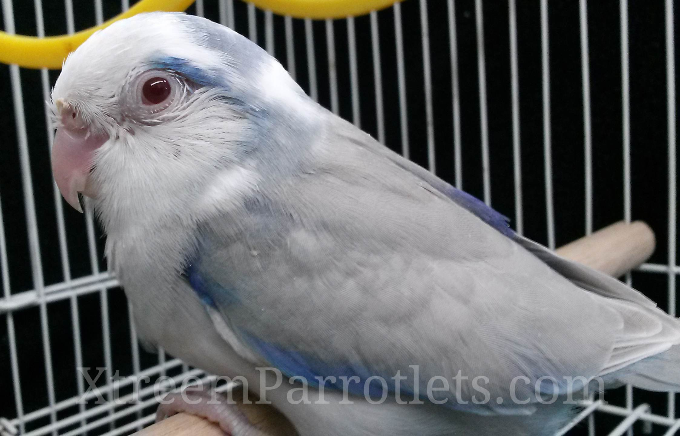 blue-pied-fallow-bird-for-sale