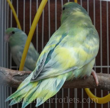 Rare Turquoise Marbled Yellow Pied