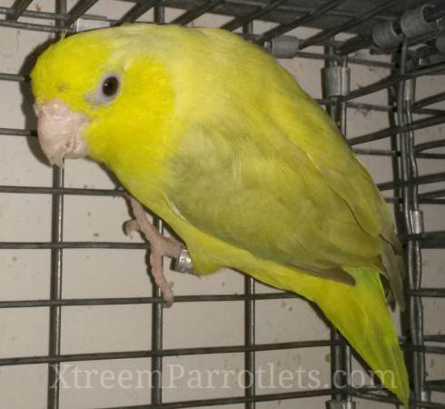 European Yellow Pastel Parrotlets