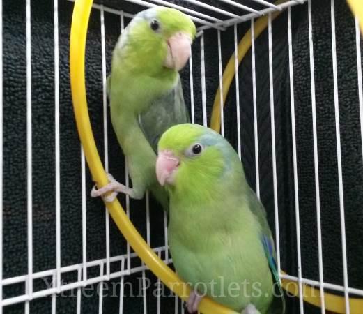green-parrotlet-mates