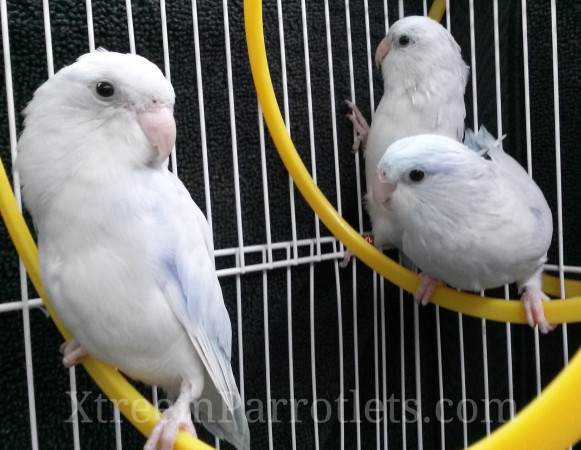 group-of-rare-white-parrotlets