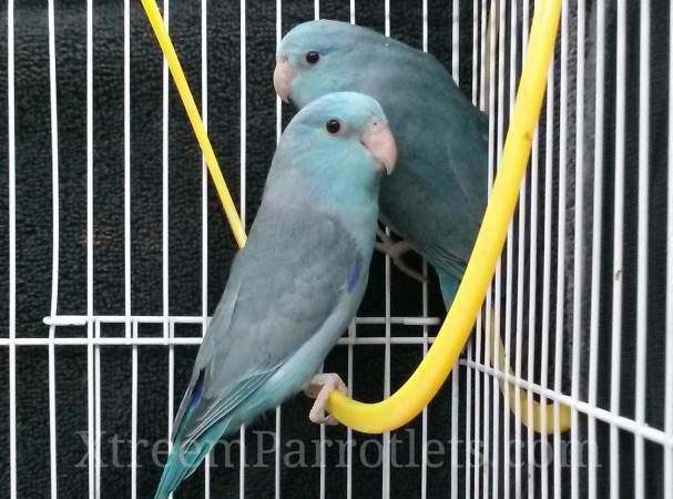 pair-of-blue-parrotlets