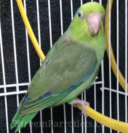 rare-green-parrotlet