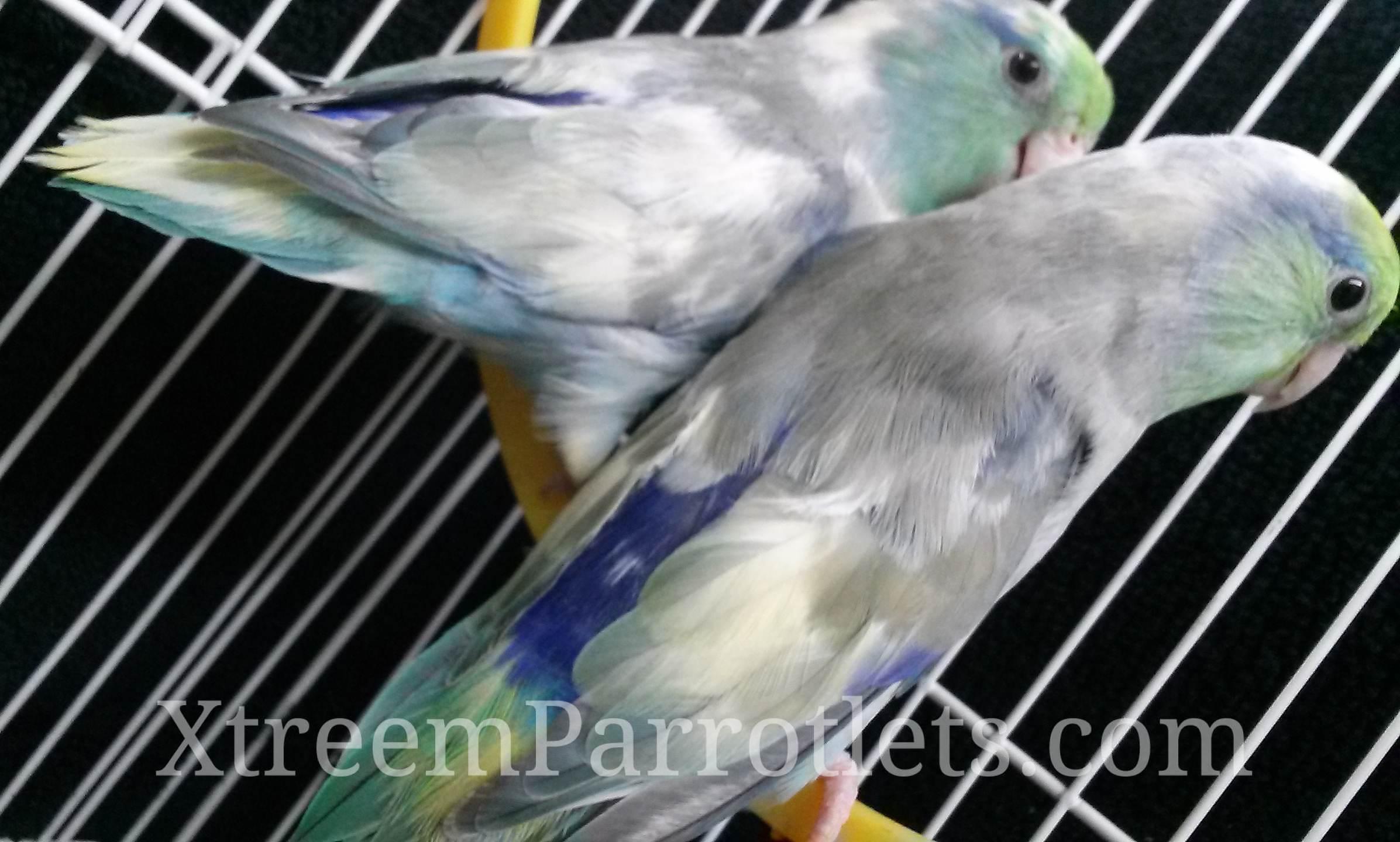 Turquoise Pied