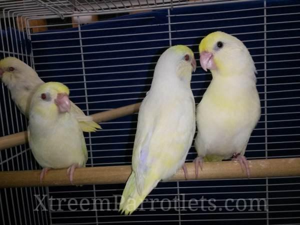 Rare White Fallow Creamino Parrotlets