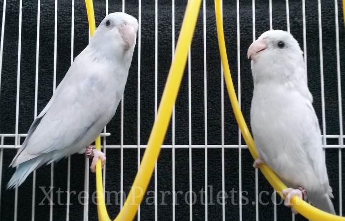 rare-white-parrotlets-xtreem-parrotlets