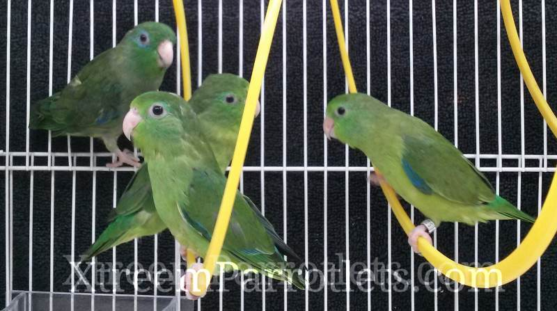 spectacled parrotlets group2
