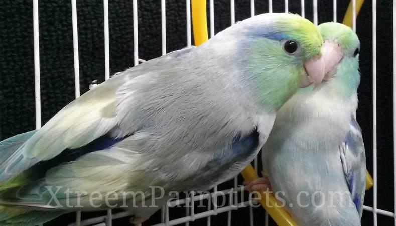 turq-pied-parrotlet-pair