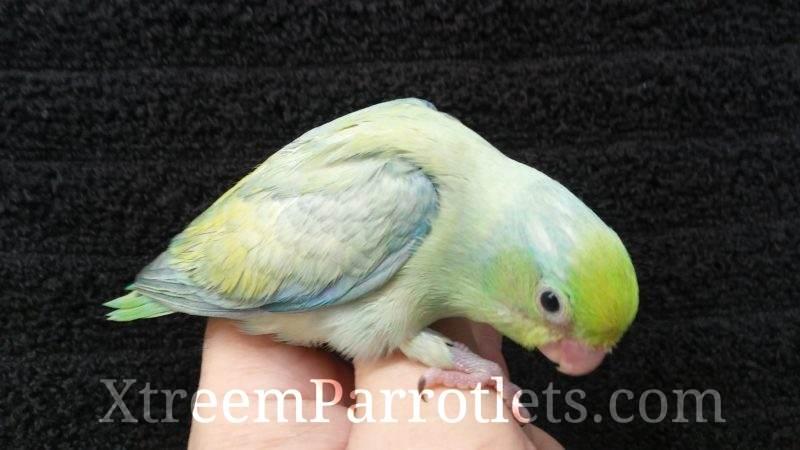 Turquoise Pastel Parrotlet