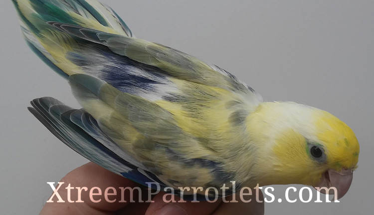Turquoise Yellow Pied Parrotlet