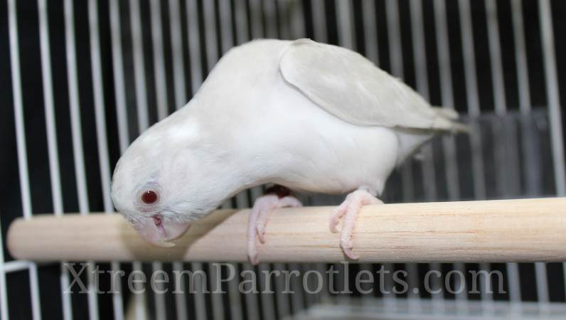 Silver Cinnamon Fallow Pied Parrotlet
