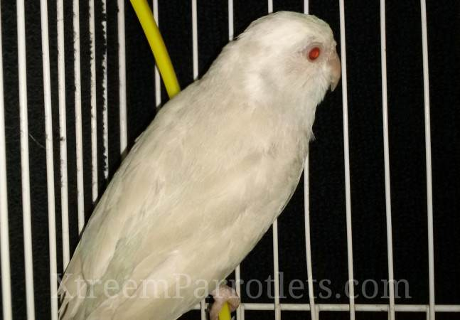 Silver Cinnamon Fallow Pied parrotlet-bird-for-sale