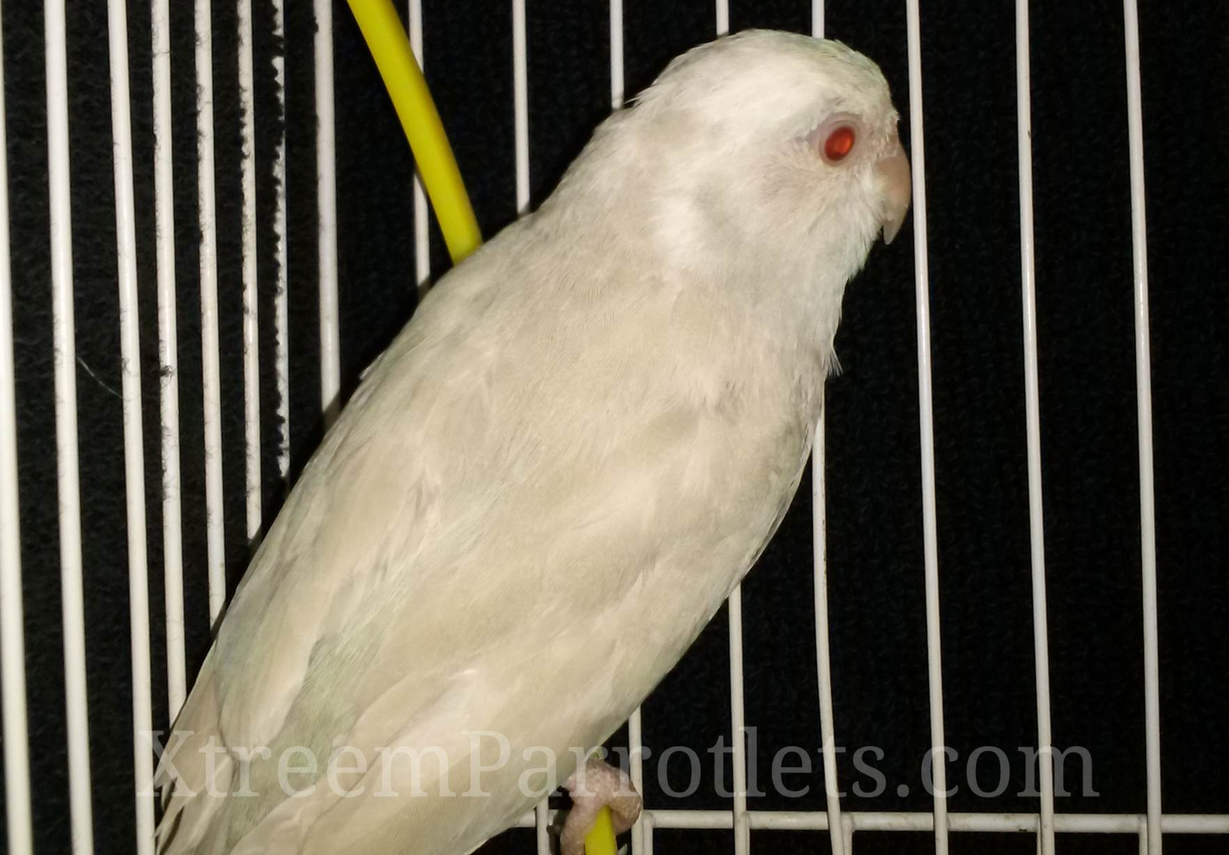 white-fallow-cinnamon-pied-parrotlet-bird-for-sale