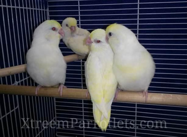 White Fallow Creamino Parrotlets