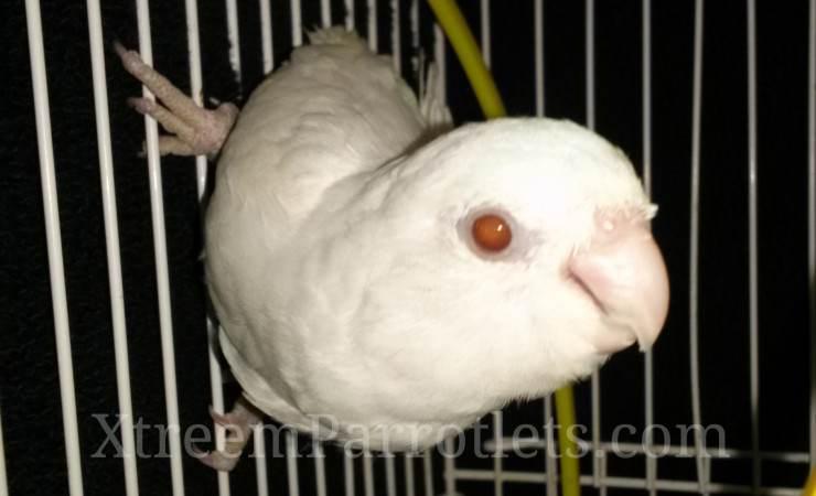white-fallow-parrotlet