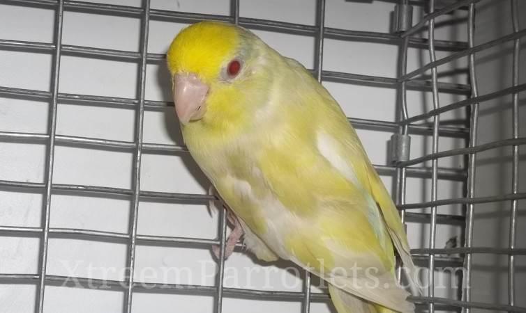 Parrotlet Breeders: White Fallow Turquiose Pied Male Parrotlets