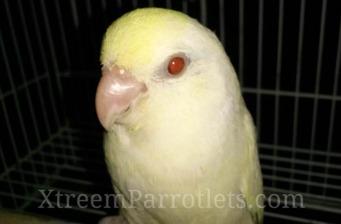 white-fallow-turquoise-pied-for-sale
