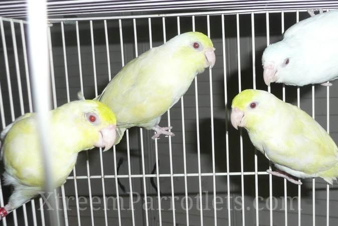 White Turq Fallow Parrotlet