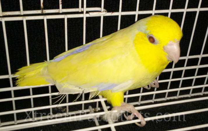 yellow-fallow-parrotlet