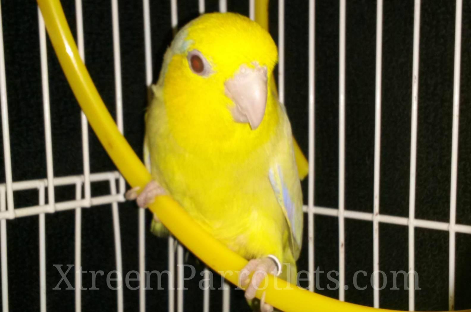 yellow-fallow-parrotlet-bird