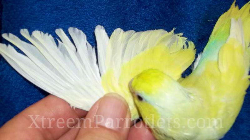 Rare White Fallow Turquoise Pied Parrotlet
