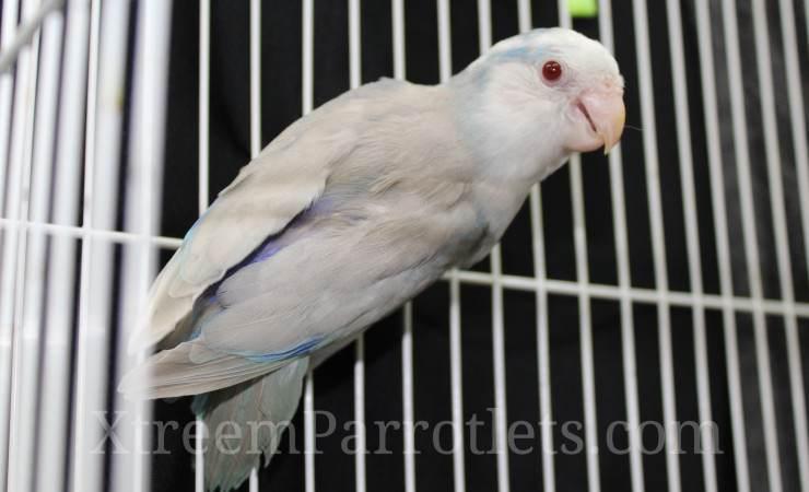 Blue Pied Fallow Parrotlet