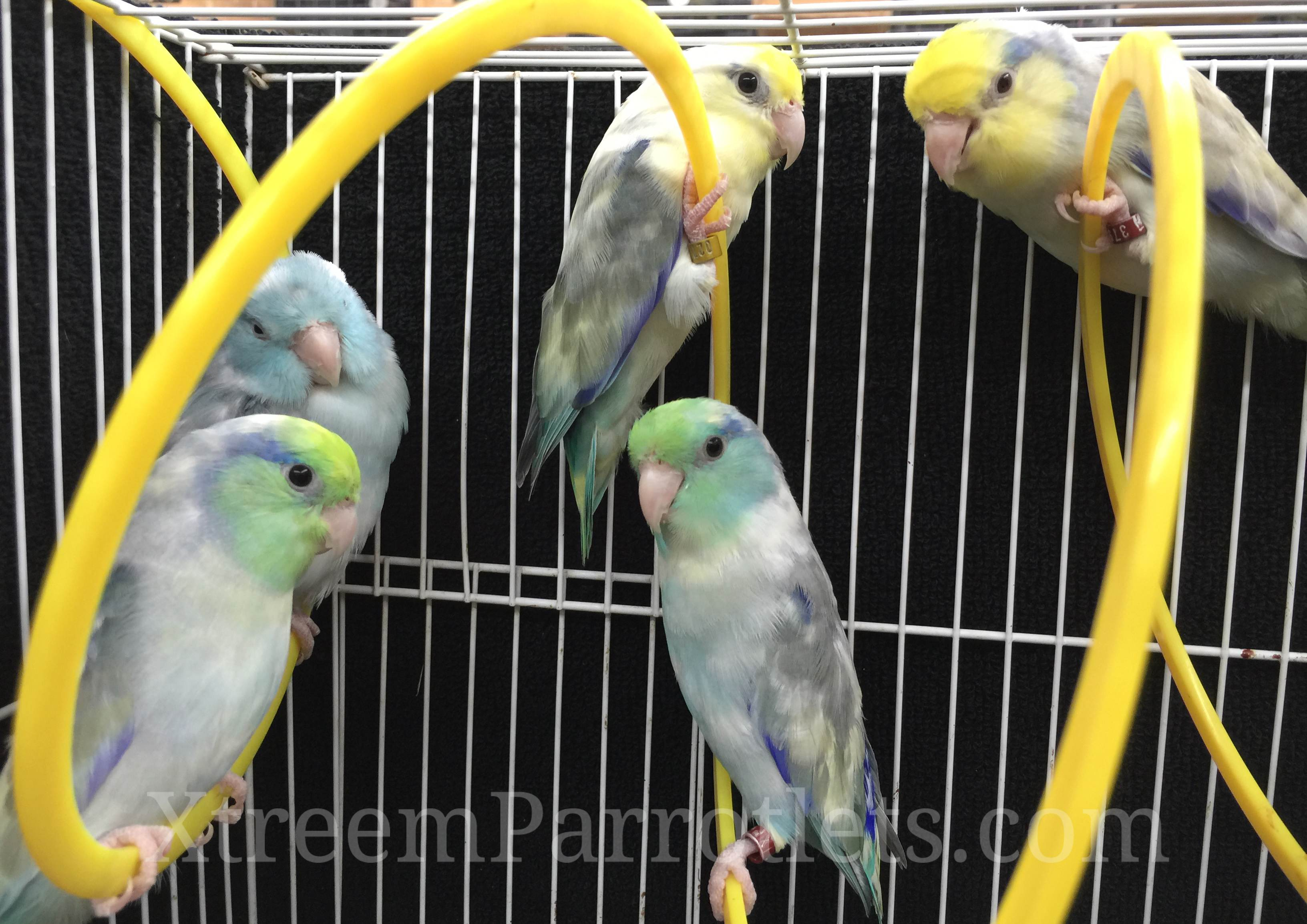 pied-parrotlet-group