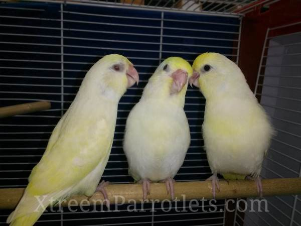 Creamino Parrotlets
