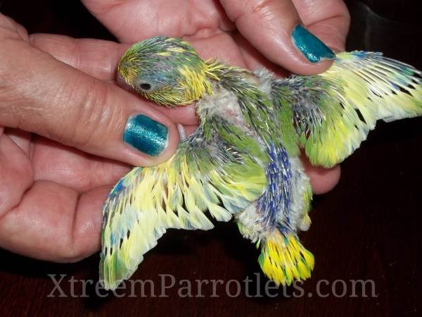 Baby Parrotlets for Sale