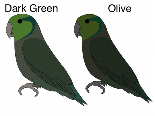 Dark Green (D) x Olive (DD) Both parents are carrying the dark factor gene so chances are 50% dark green and 50% olive. You will not breed greens. But this pairing is not ideally the way to breed olives. Olives are still small in size and we need to improve the quality of bird by pairing back to good greens and trying to breed really good sized dark greens.
