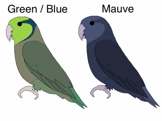 Green split Blue x Mauve (DD Blue) 50% dark green/blue and 50% cobalt No olives or mauves as the normal Blue parent isn't carrying a 'D' factor. Only the one parent is carrying the dark gene (twice). This combination can be used the same if you have a blue x olive split blue.