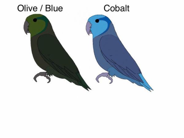 olive-blue-cobalt-parrotlets