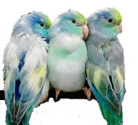 Parrotlet Behavior Normal And Abnormal - Xtreem Parrotlets